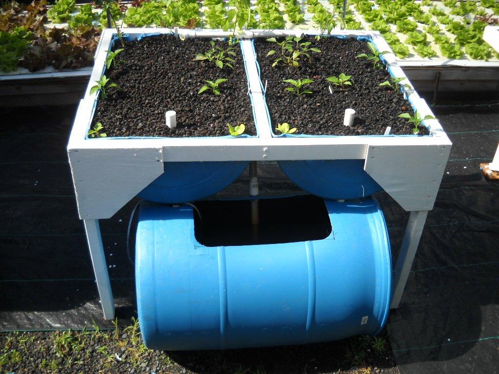 Barrel Aquaponics Grow Organic Food Easily With Backyard